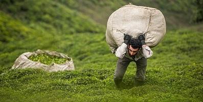 تاکنون ۷۹ هزار تن برگ سبز چای از چایکاران خریداریشده است