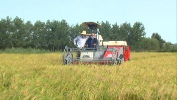 هشدار سازمان جهاد کشاورزی به شالیکاران