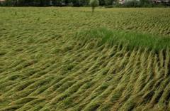 هزینه دستمزد دروی برنج در گیلان به ۵۰۰ هزار تومان رسید/ چه کسی به داد کشاورزان ستم دیده میرسد؟
