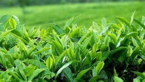 امروز آخرین مهلت تحویل برگ سبز چای