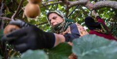 صادرات کیوی گیلان به ۲۵ کشور دنیا