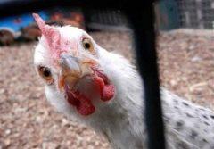 دلق پوش: تولید مرغ روزانه در گیلان از مرز ۴۵۰ تُن عبور میکند!/۷۰۰ تُن مرغ منجمد به بازار گیلان می آید!