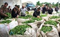 برداشت پاییزه برگ سبز چای تا ۳۰ مهر ادامه دارد